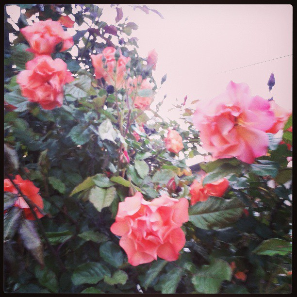 blue hour roses