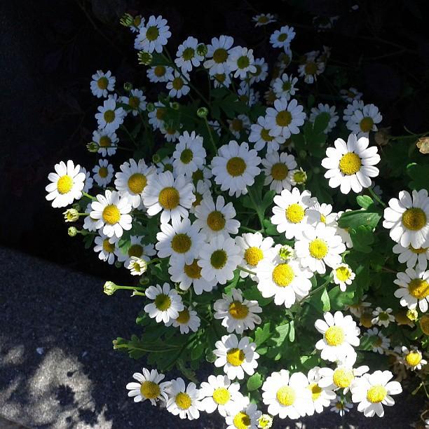 Lil daisies