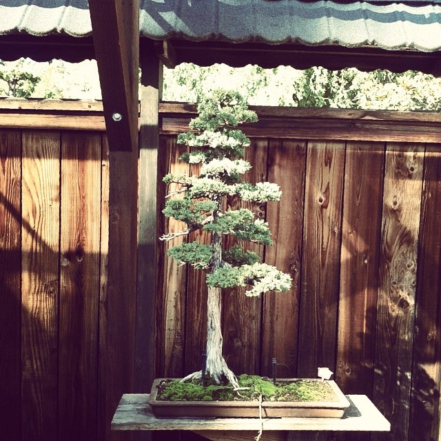 Today we visited the bonsai garden at Lake Merritt
