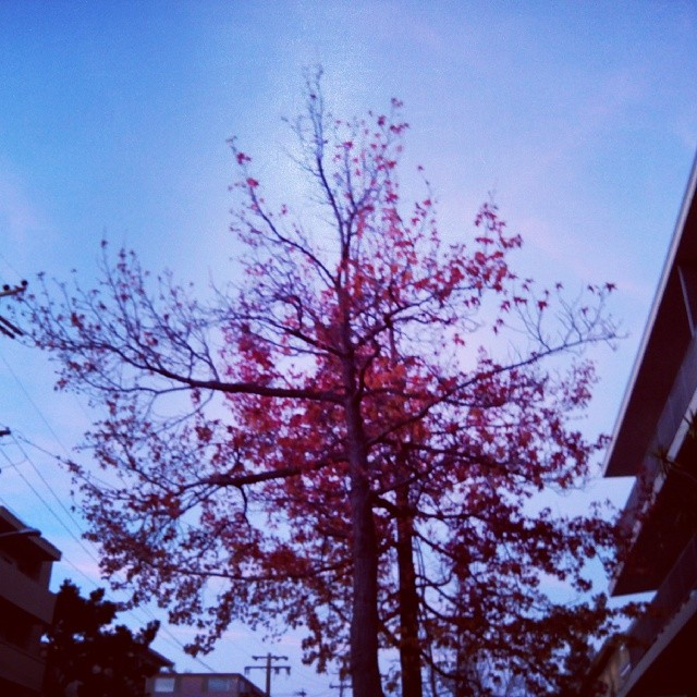 Red tree in the blue hour