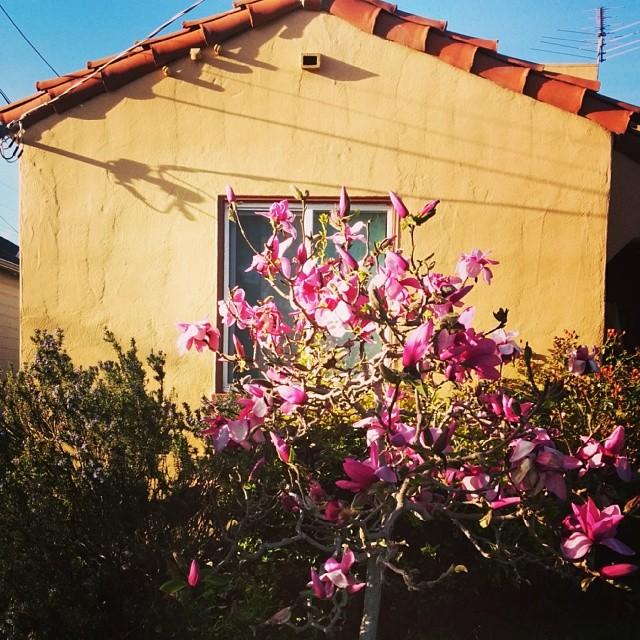 stucco & magnolias in west berkeley