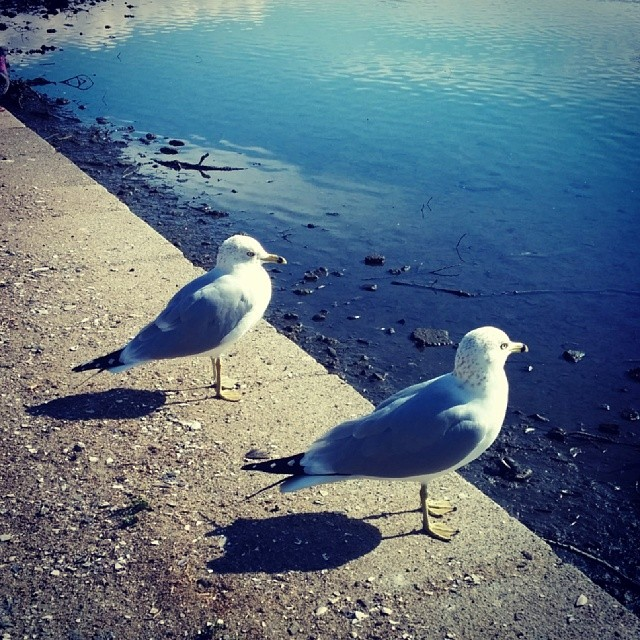 Seagulls, admiring the spots on their tail feathers
