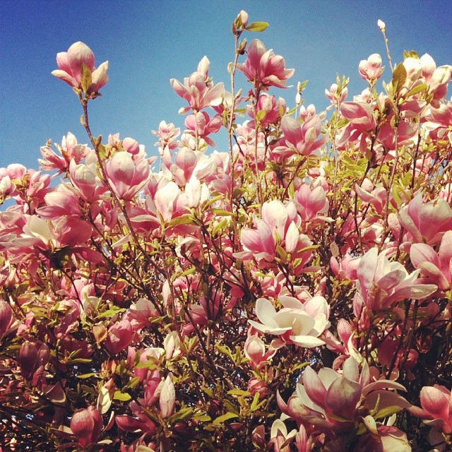 Thinking about these magnolias from Berkeley