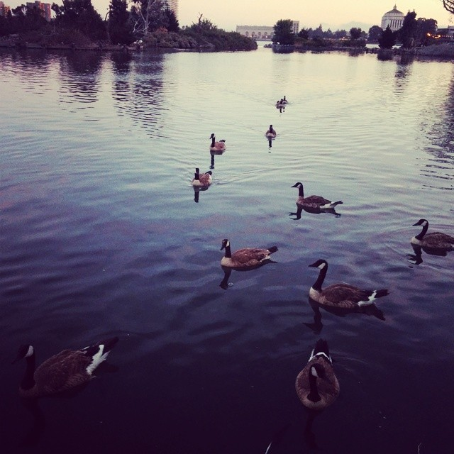 Lake Merritt geese