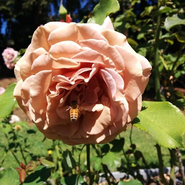 bee/rose