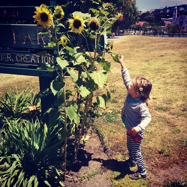 as tall as a sunflower