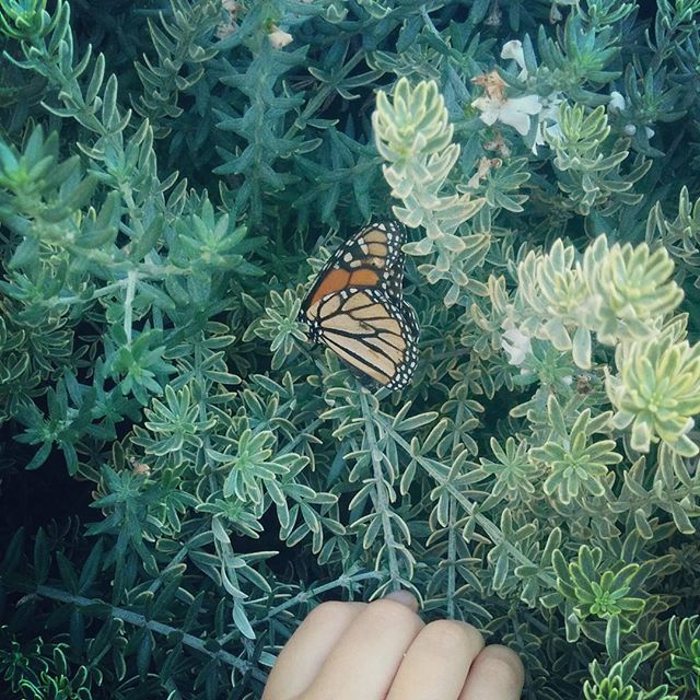 We found this monarch. It was barely able to move. Probably at the end of its magical life.