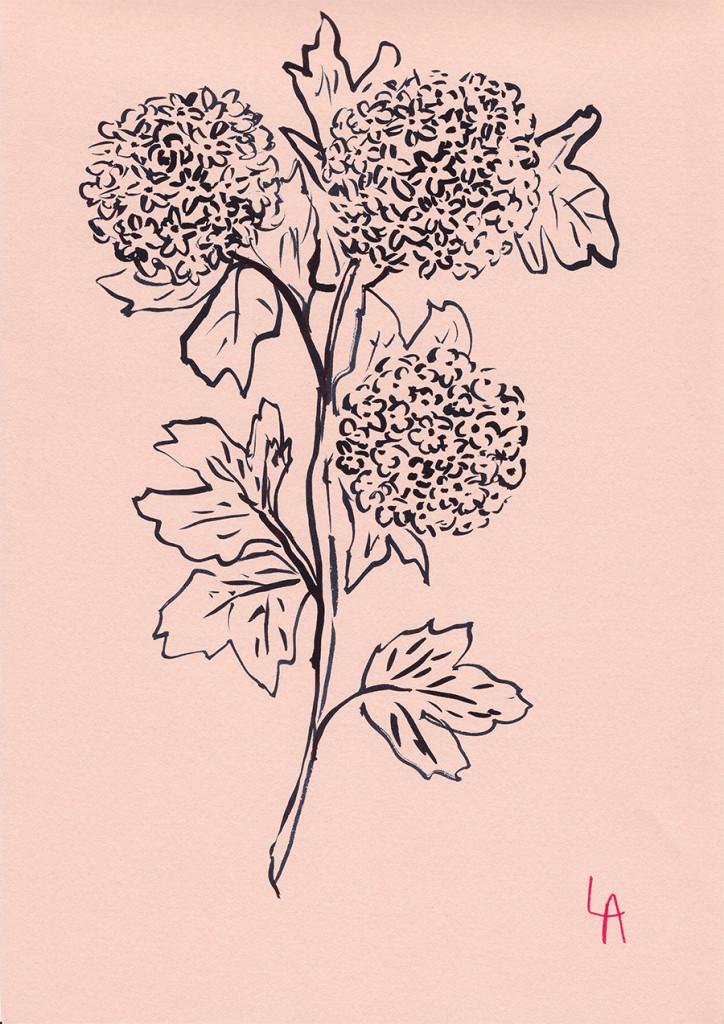 lucy auge hydrangea