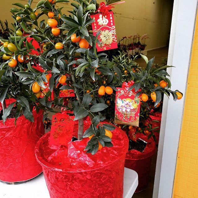 kumquat trees