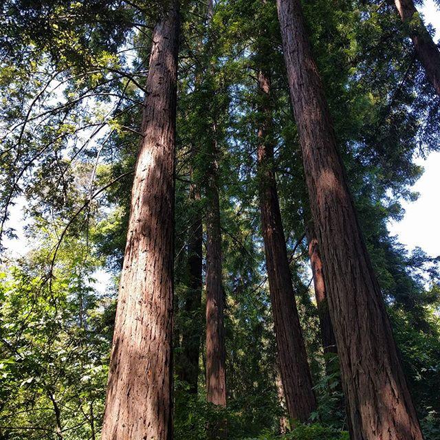 redwoods in Piedmont