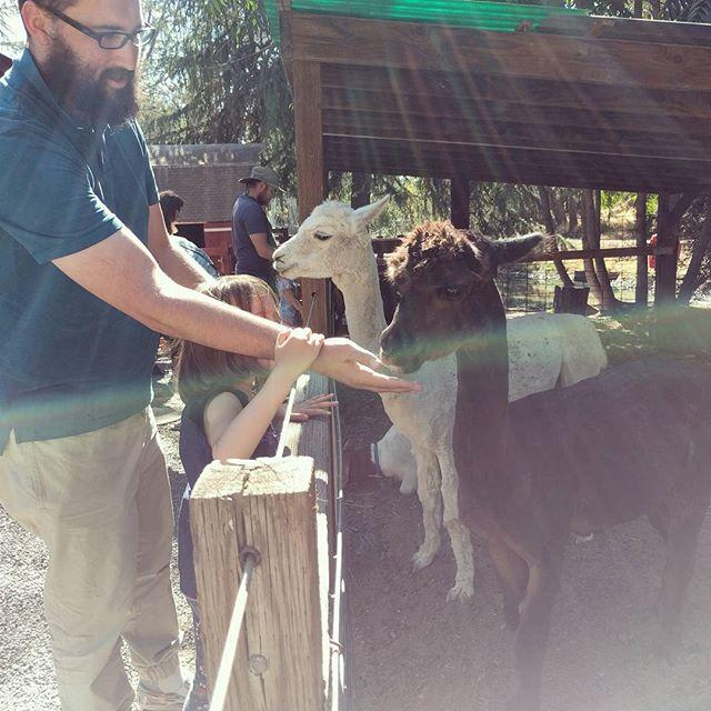 feeding alpacas at train town