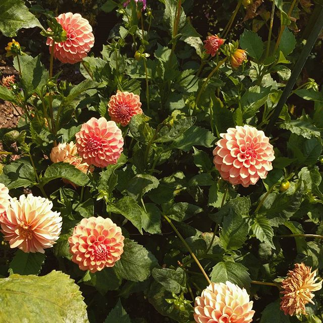 Dahlias at the garden