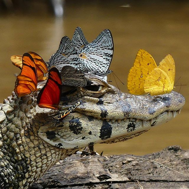 "My favorite photo of all time!  ""While traveling through the Amazon to study reptile and amphibian diversity with the Herpetology Division at the University of Michigan, photographer Mark Cowan happened upon a strange sight: a caiman whose head was nearly covered in butterflies."""