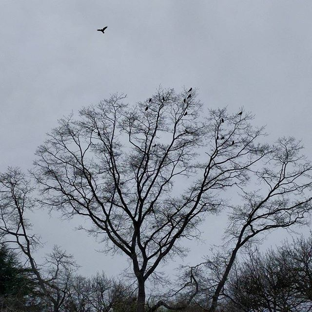 wintery tree full of crows