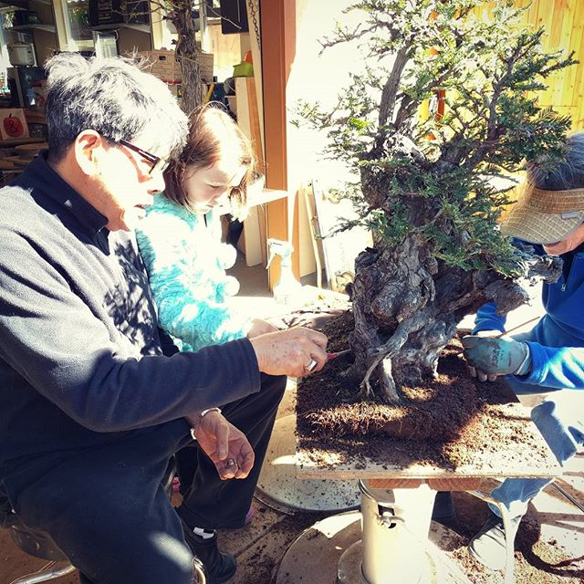 Today Clover helped clean up and repot bonsai trees.