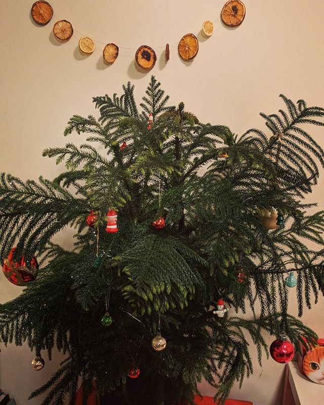 Our first tree. A potted Norfolk pine. ️