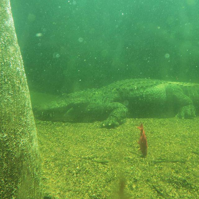 underwater gator